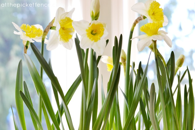 daffodils At the Picket Fence