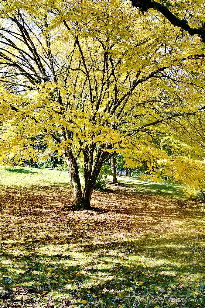golden leaf tree atthepicketfence.com