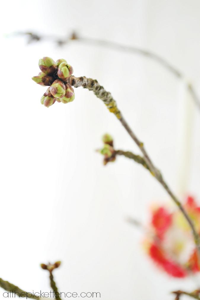 cherry tree branch blossom