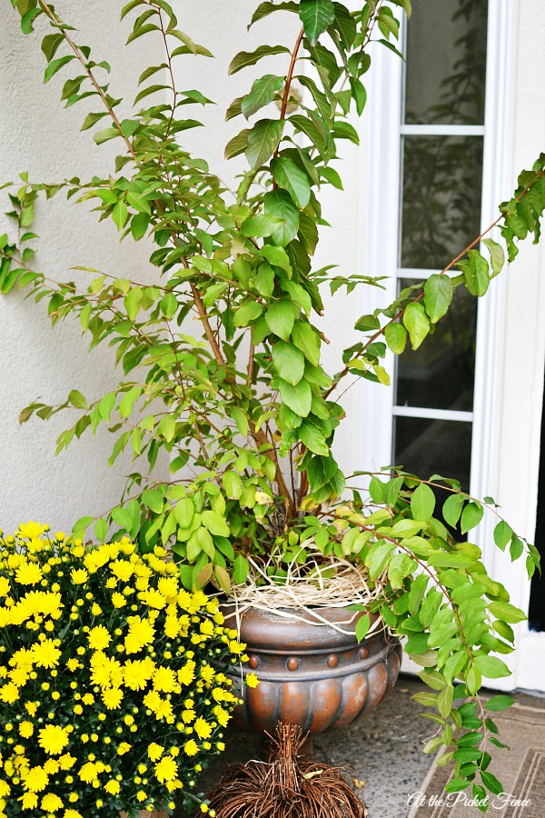 Crepe Myrtle on fall front porch