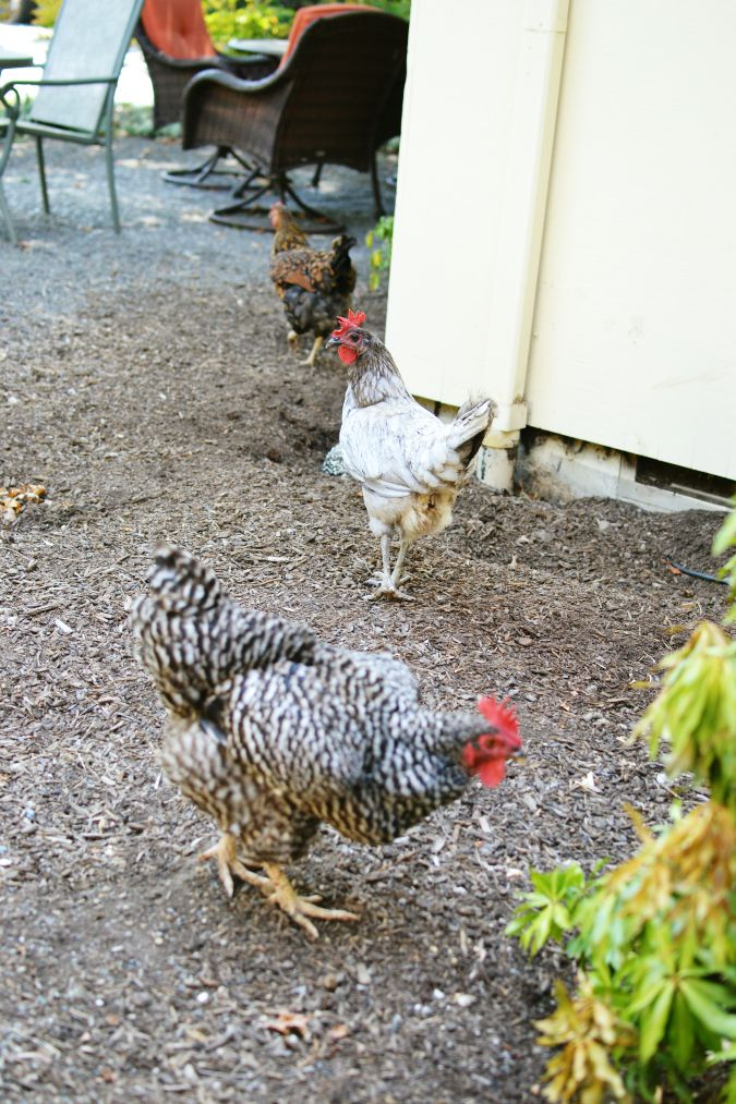 chickens at the farmhouse atthepicketfence.com